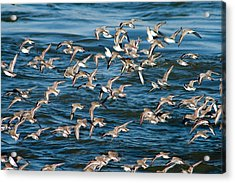 Dunlins In Flight Acrylic Print