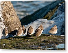 Dunlins On The Jetty Acrylic Print