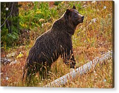 Dunraven Grizzly Acrylic Print by Mark Kiver