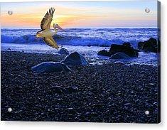 Dusk Flight Of The Pelican Acrylic Print