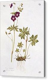 Dusky Cranesbill Acrylic Print by Diana Everett