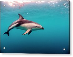 Dusky Dolphin (lagenorhynchus Obscurus Acrylic Print by James White