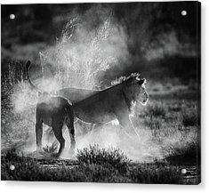 Dust Cats Acrylic Print by Jaco Marx