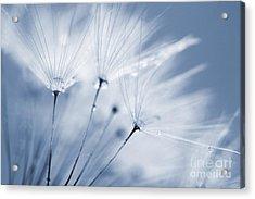 Dusty Blue Dandelion Clock And Water Droplets Acrylic Print by Natalie Kinnear