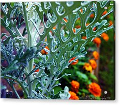 Dusty Miller And Dew Drops Acrylic Print by Deborah Fay