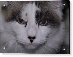 Acrylic Print featuring the photograph Dusty - The Cat's Meow by Robyn Stacey