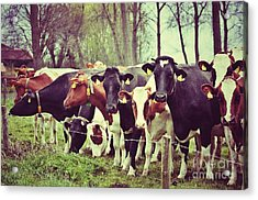 Acrylic Print featuring the photograph Dutch Cows by Nick  Biemans