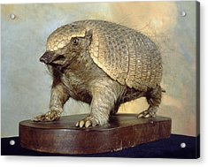 Dwarf Armadillo Acrylic Print by Science Photo Library