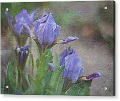 Acrylic Print featuring the photograph Dwarf Iris With Texture by Patti Deters