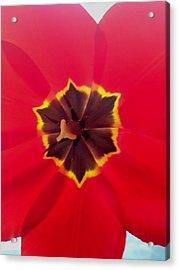 Dying Tulip Acrylic Print