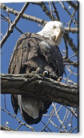Eagle 2 Acrylic Print by Valerie Wolf