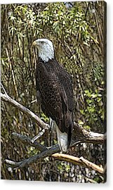 Eagle Acrylic Print by Donald Williams