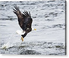 Eagle Hunting On The Wisconsin River Acrylic Print by Ricky L Jones