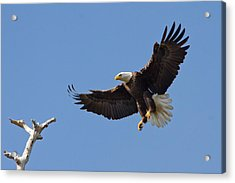 Acrylic Print featuring the photograph Eagle Landing 2 by Phil Stone