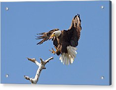 Acrylic Print featuring the photograph Eagle Landing At Bayonne Preserve by Phil Stone