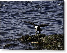 Acrylic Print featuring the photograph Eagle Landing. by Timothy Latta