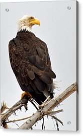 Eagle On Watch Acrylic Print by Michael Bruce
