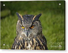 Eagle Owl Acrylic Print by Clare Bambers