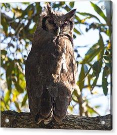 Eagle Owl Acrylic Print by Craig Brown