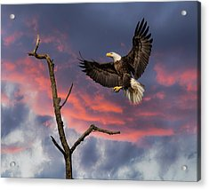 Eagle Sunset Landing Acrylic Print