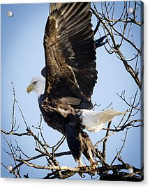 Eagle Taking Off Acrylic Print by Ricky L Jones