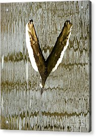 Eagle Wings Acrylic Print
