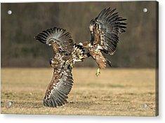 Eagles Fighting Acrylic Print