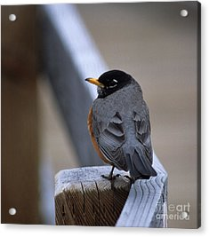 Early Bird Acrylic Print by Sharon Elliott