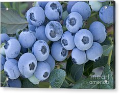 Early Blue Blueberries Acrylic Print by Inga Spence
