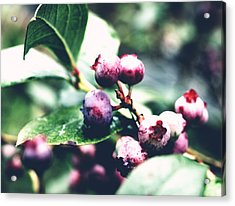 Early Blueberries Acrylic Print