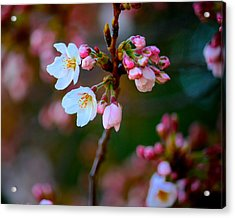 Early Cherry Blossoms Acrylic Print