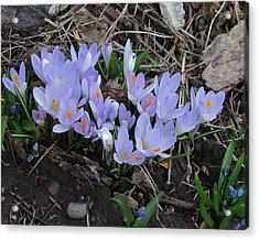 Early Crocuses Acrylic Print