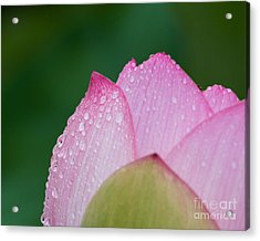 Early Lotus Acrylic Print by Dale Nelson