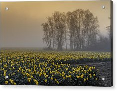 Early Morning Daffodil Fog Acrylic Print