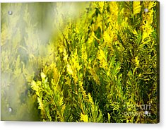 Early Morning Fog Acrylic Print by Lena Wilhite