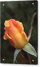 Early Morning Rosebud Acrylic Print