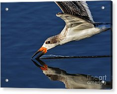 Acrylic Print featuring the photograph Early Morning Skimmer by Kathy Baccari