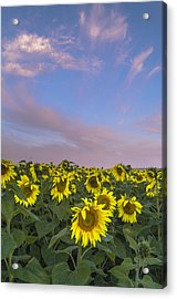 Early Morning Sunflowers Acrylic Print by Thomas Pettengill