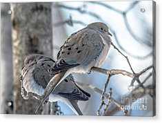 Early Mourning Acrylic Print by Cheryl Baxter