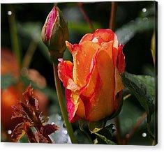 Early Roses Acrylic Print
