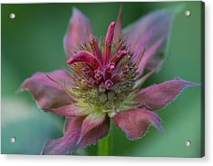 Early Spring Bee Balm Bud Acrylic Print