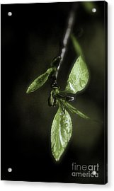 Early Spring Leaves Acrylic Print
