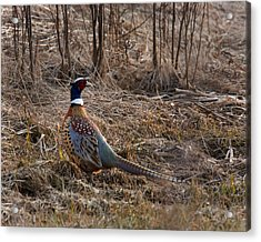 Early Spring Pheasant Acrylic Print by Timothy McIntyre