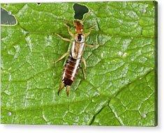 Earwig On Leaf Acrylic Print by Bob Gibbons