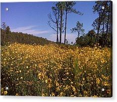 East Coast Dune Sunflowers Acrylic Print