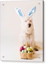Easter Bunny Westie Acrylic Print