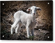 Acrylic Print featuring the photograph March Lamb by Jan Davies