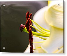 Easter Lily Acrylic Print by Omaste Witkowski