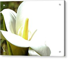 Easter Lily Acrylic Print by Pamela Patch