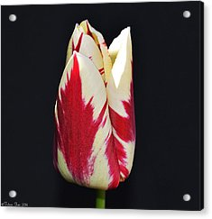 Easter Greetings - Twinkle Tulip Acrylic Print